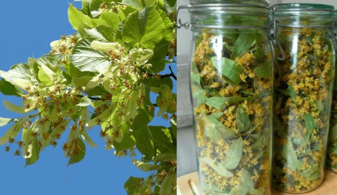 Domácí sirup z lipového květu: udělejte si zásobu přírodního léku proti chorobám na celý rok!