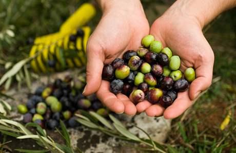 Obsahují účinné látky, které mají velmi pozitivní účinky na zdraví. Věděli jste však, že olivy patří mezi ovoce?